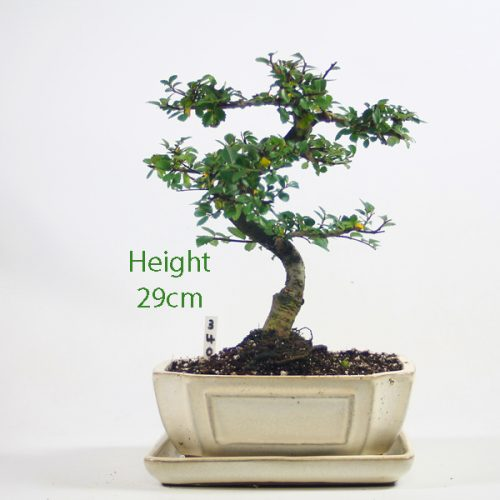Chinese Elm Bonsai Tree Number 340 available to buy online from All Things Bonsai Sheffield Yorkshire with free UK delivery