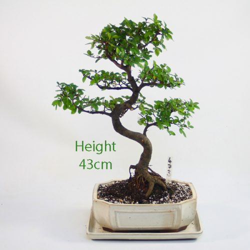 Chinese Elm Bonsai Tree Number 473 available to buy online from All Things Bonsai Sheffield Yorkshire with free UK delivery