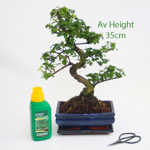 Ligustrum Bonsai Tree 12 Year Old Glazed Pot And Matching Tray available to buy online from All Things Bonsai Sheffield Yorkshire with free UK delivery