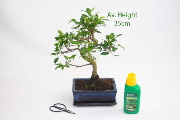 Ficus Bonsai Tree 12 Year Old Glazed Pot And Matching Tray available to buy online from All Things Bonsai Sheffield Yorkshire with free UK delivery