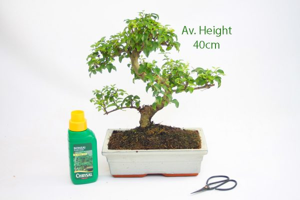 Ligustrum Bonsai Tree 15 Year Old available to buy online from All Things Bonsai Sheffield Yorkshire with free UK delivery