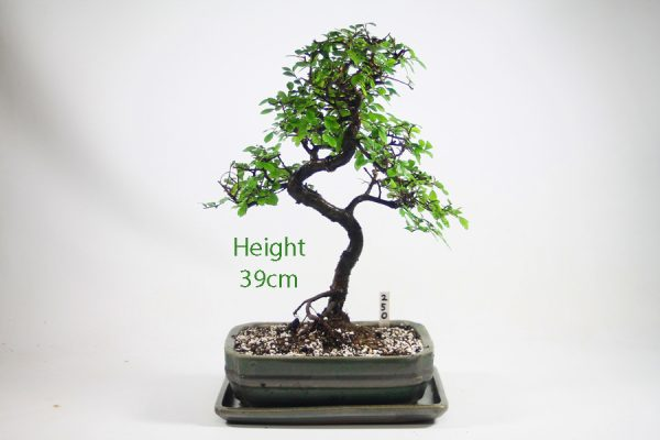 Chinese Elm Bonsai Tree Number 250 available to buy online from All Things Bonsai Sheffield Yorkshire with free UK delivery
