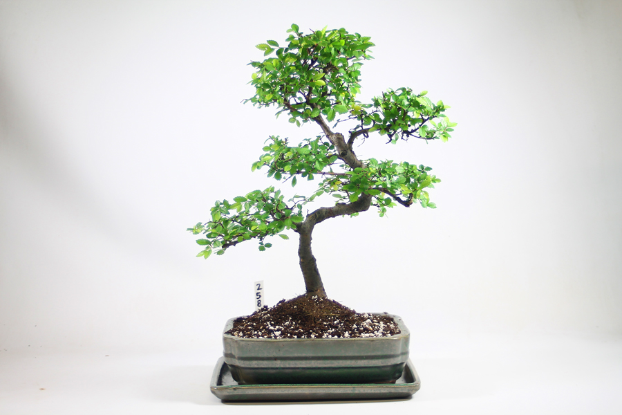 Bonsai Tree Christmas Present Questions and Answers