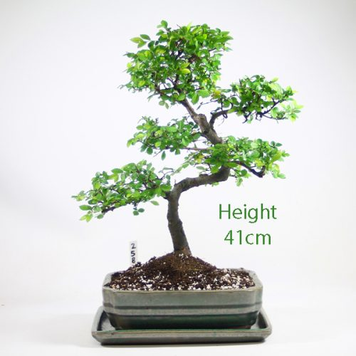 Chinese Elm Bonsai Tree Number 258 available to buy online from All Things Bonsai Sheffield Yorkshire with free UK delivery