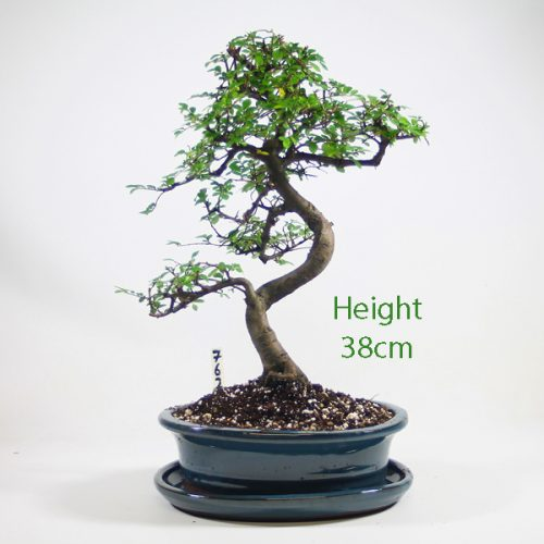 Chinese Elm Bonsai Tree Number 762 available to buy online from All Things Bonsai Sheffield Yorkshire with free UK delivery