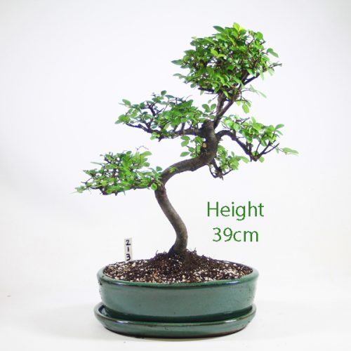Chinese Elm Bonsai Tree Number 213 available to buy online from All Things Bonsai Sheffield Yorkshire with free UK delivery