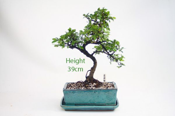 Chinese Elm Bonsai Tree Number 604 available to buy online from All Things Bonsai Sheffield Yorkshire with free UK delivery