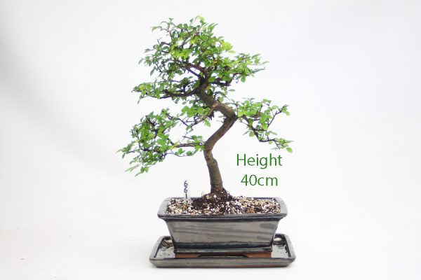 Chinese Elm Bonsai Tree Number 661 available to buy online from All Things Bonsai Sheffield Yorkshire with free UK delivery