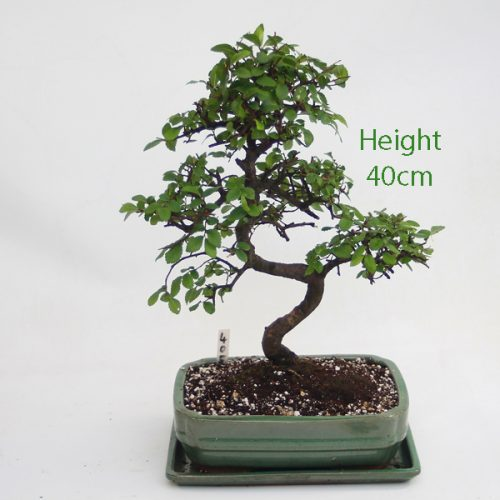 Chinese Elm Bonsai Tree Number 405 available to buy online from All Things Bonsai Sheffield Yorkshire with free UK delivery