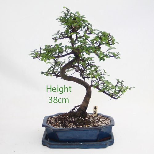 Chinese Elm Bonsai Tree Number 45 available to buy online from All Things Bonsai Sheffield Yorkshire with free UK delivery