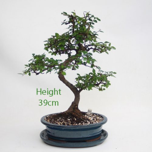 Chinese Elm Bonsai Tree Number 111 available to buy online from All Things Bonsai Sheffield Yorkshire with free UK delivery