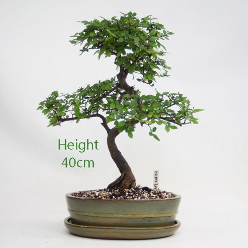 Chinese Elm Bonsai Tree Number 235 available to buy online from All Things Bonsai Sheffield Yorkshire with free UK delivery