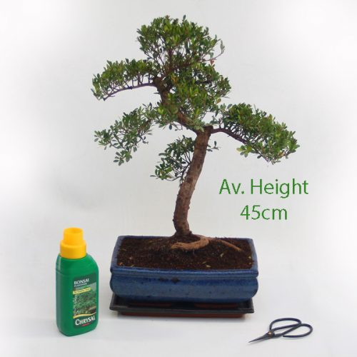 15cm Year Old Syzygium Bonsai Tree Gift Set available to buy online from All Things Bonsai Sheffield Yorkshire with free UK delivery