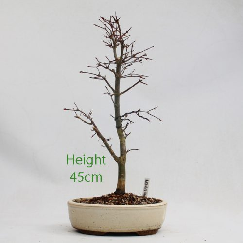 Acer Palmatum Deshojo Japanese Maple Bonsai Tree Number 558 available to buy online from All Things Bonsai Sheffield Yorkshire with free UK delivery