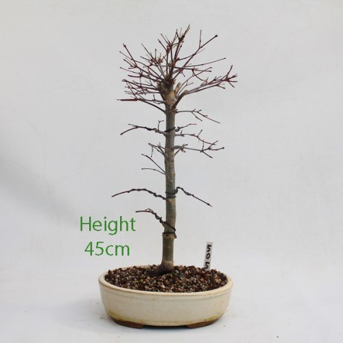 Acer Palmatum Deshojo Japanese Maple Bonsai Tree Number 505 available to buy online from All Things Bonsai Sheffield Yorkshire with free UK delivery