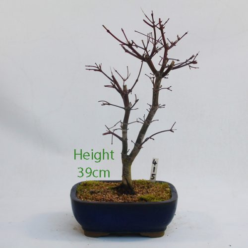 Acer Palmatum Deshojo Japanese Maple Bonsai Tree Number 415 available to buy online from All Things Bonsai Sheffield Yorkshire with free UK delivery