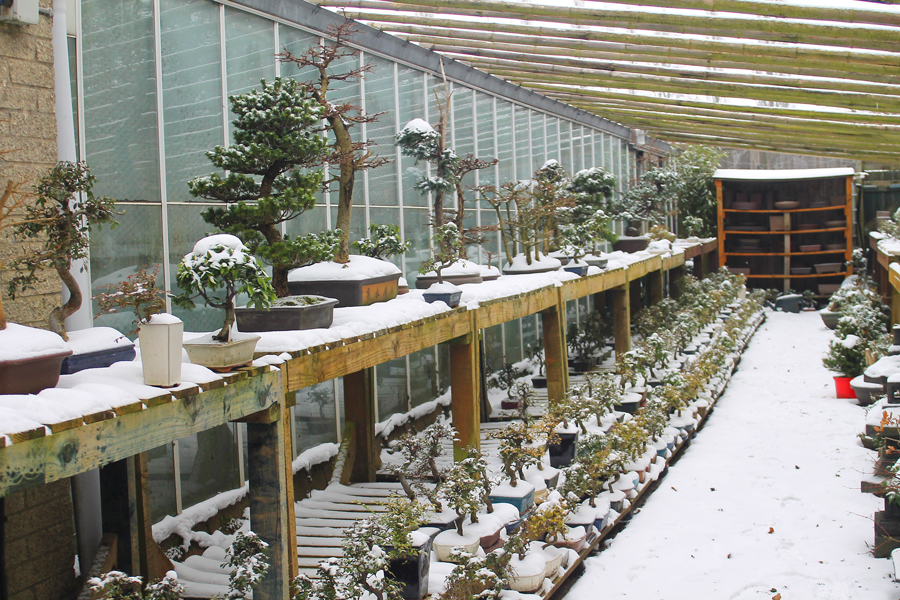 Bonsai Trees In Winter All Things Bonsai Sheffield Yorkshire