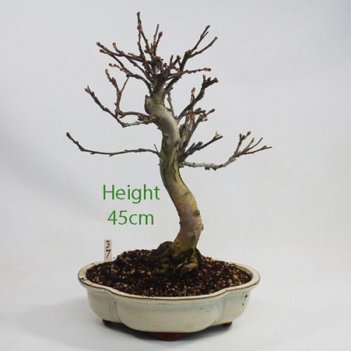 Crab Apple Flowering Bonsai Tree Malus Number 37 available to buy online from All Things Bonsai Sheffield Yorkshire with free UK delivery