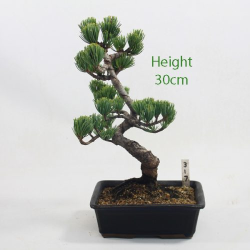 Japanese White Pine Bonsai Tree Number 317 available to buy online from All Things Bonsai Sheffield Yorkshire with free UK delivery