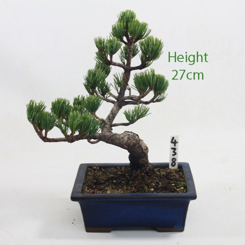 Japanese White Pine Bonsai Tree Number 438 available to buy online from All Things Bonsai Sheffield Yorkshire with free UK delivery