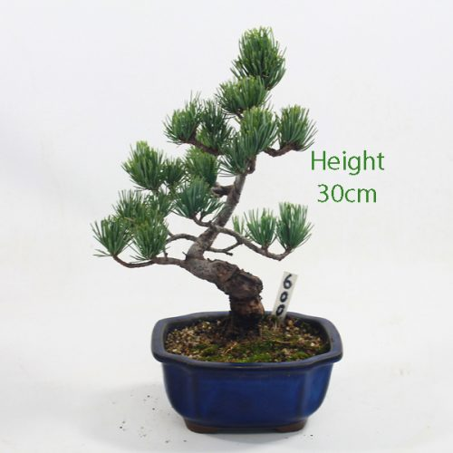 Japanese White Pine Bonsai Tree Number 600 available to buy online from All Things Bonsai Sheffield Yorkshire with free UK delivery