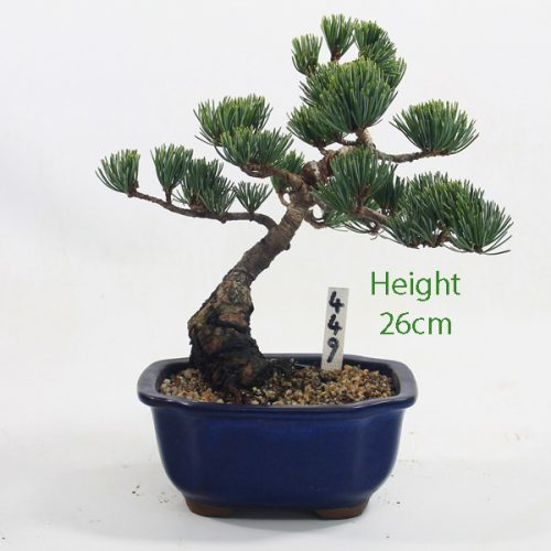 Japanese White Pine Bonsai Tree Number 449 available to buy online from All Things Bonsai Sheffield Yorkshire with free UK delivery
