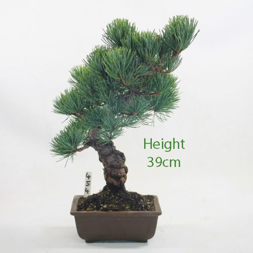 Japanese White Pine Bonsai Tree Number 454 available to buy online from All Things Bonsai Sheffield Yorkshire with free UK delivery