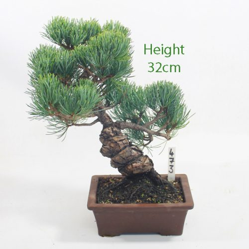 Japanese White Pine Bonsai Tree Number 473 available to buy online from All Things Bonsai Sheffield Yorkshire with free UK delivery