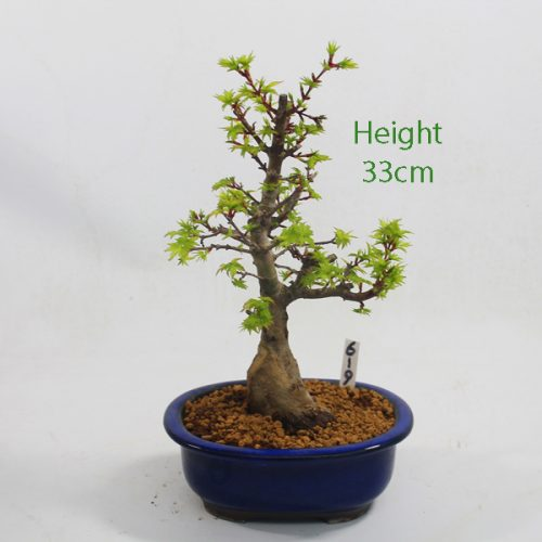 Acer Palmatum Shishigashira Japanese Maple Bonsai Tree Number 619 available to buy online from All Things Bonsai Sheffield Yorkshire with free UK delivery