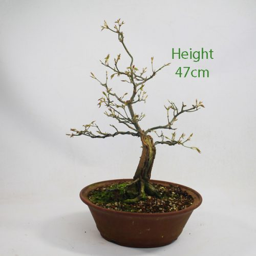 Acer Palmatum Japanese Maple Bonsai Tree Number 650 available to buy online from All Things Bonsai Sheffield Yorkshire with free UK delivery