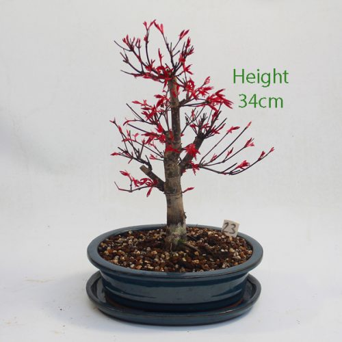 Acer Palmatum Deshojo Japanese Maple Bonsai Tree Number 23 available to buy online from All Things Bonsai Sheffield Yorkshire with free UK delivery