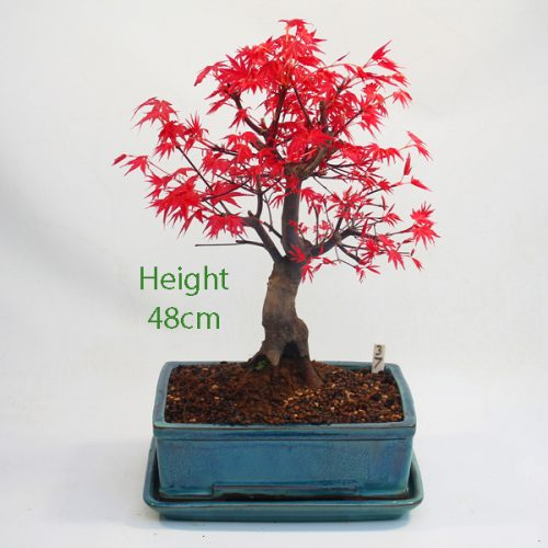 Acer Palmatum Deshojo Japanese Maple Bonsai Tree Number 37 available to buy online from All Things Bonsai Sheffield Yorkshire with free UK delivery
