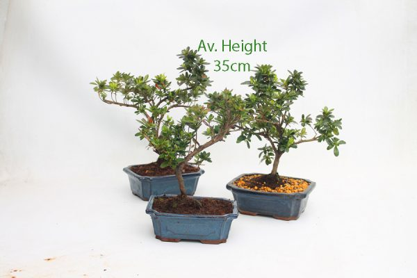 Flowering Bonsai Azalea Starter Tree online from All Things Bonsai Sheffield Yorkshire with free UK delivery