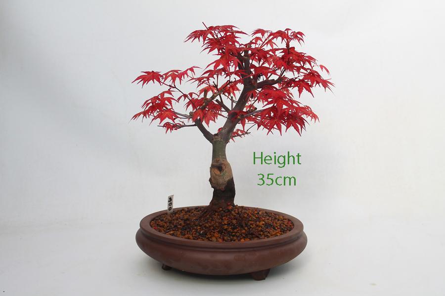 Acer Palmatum Deshojo Japanese Maple Bonsai Tree Number 300 All