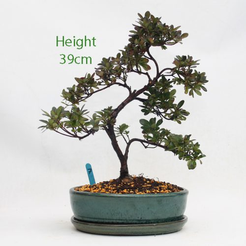 Azalea Flowering Bonsai Tree Number 7 available to buy online from All Things Bonsai Sheffield Yorkshire with free UK delivery