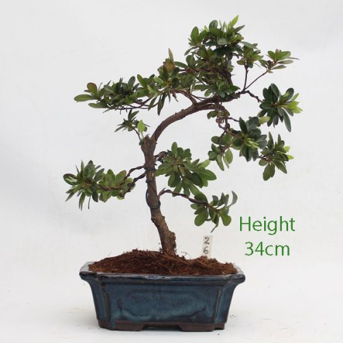 Azalea Flowering Bonsai Tree Number 239 available to buy online from All Things Bonsai Sheffield Yorkshire with free UK delivery