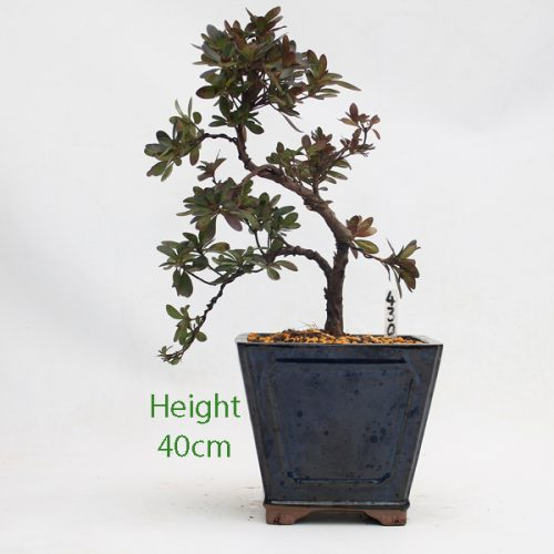 Azalea Flowering Bonsai Tree Cascade Style Number 430 available to buy online from All Things Bonsai Sheffield Yorkshire with free UK delivery