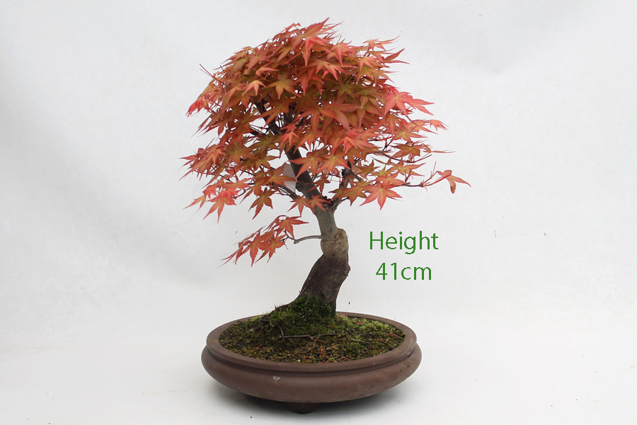 Acer Palmatum Deshojo Japanese Maple Bonsai Tree Number 466 All