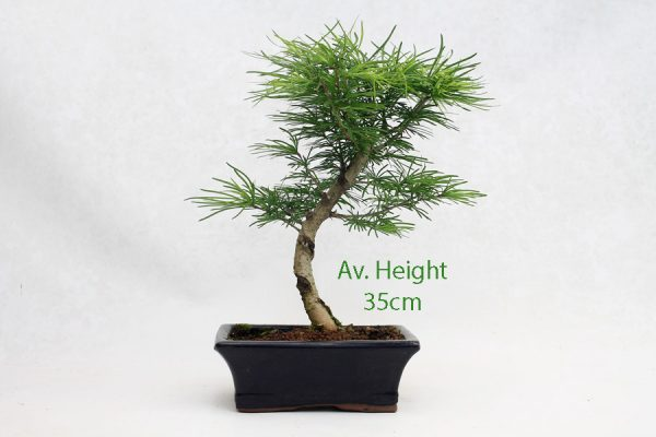 Golden Larch Bonsai Tree Part Trained available to buy online from All Things Bonsai Sheffield Yorkshire with free UK delivery