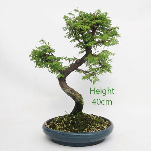 Dawn Redwood Bonsai Tree Number 51 available to buy online from All Things Bonsai Sheffield Yorkshire with free UK delivery