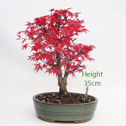 Acer Palmatum Deshojo Japanese Maple Bonsai Tree Number 230 available to buy online from All Things Bonsai Sheffield Yorkshire with free UK delivery