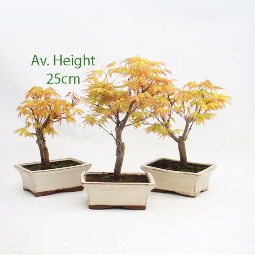 Acer Palmatum Sango Kaku Japanese Maple Starter Bonsai Tree available to buy online from All Things Bonsai Sheffield Yorkshire with free UK delivery