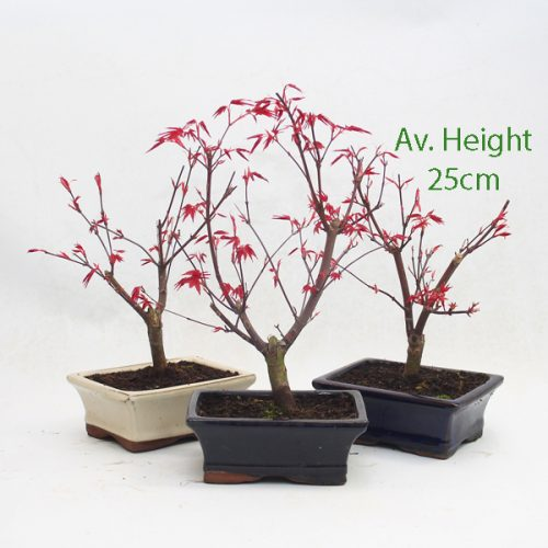 Acer Palmatum Deshojo Japanese Maple Starter Bonsai Tree available to buy online from All Things Bonsai Sheffield Yorkshire with free UK delivery