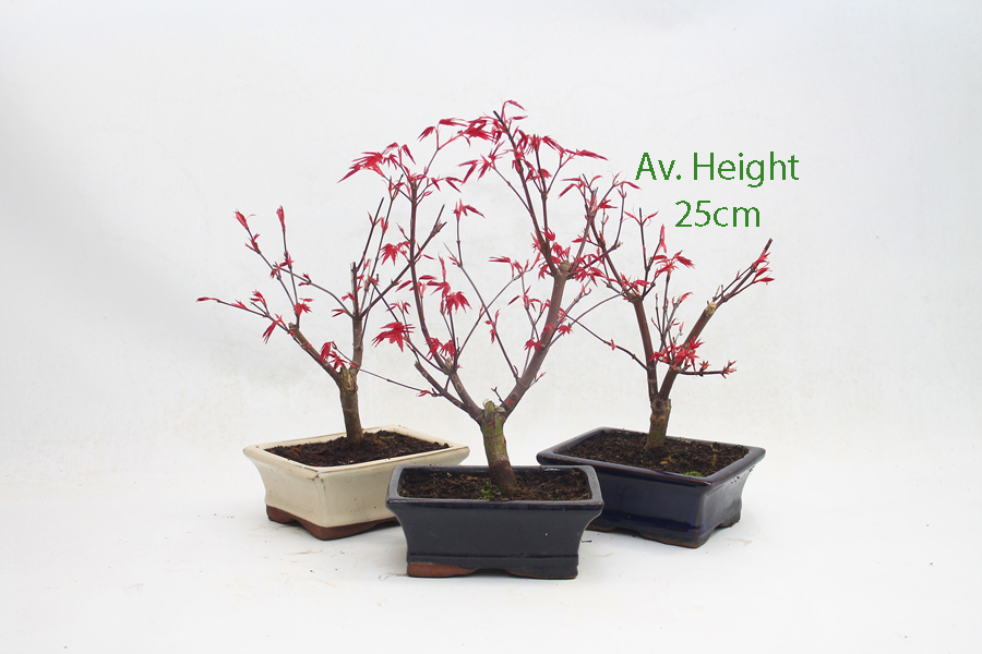 Acer Palmatum Deshojo Japanese Maple Starter Bonsai Tree All