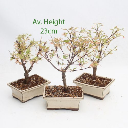 Acer Palmatum Asahi Zura Japanese Maple Starter Bonsai Tree available to buy online from All Things Bonsai Sheffield Yorkshire with free UK delivery