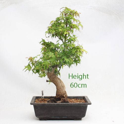 Acer Palmatum Yamamomiji Japanese Maple Bonsai Tree Number 574 available to buy online from All Things Bonsai Sheffield Yorkshire with free UK delivery