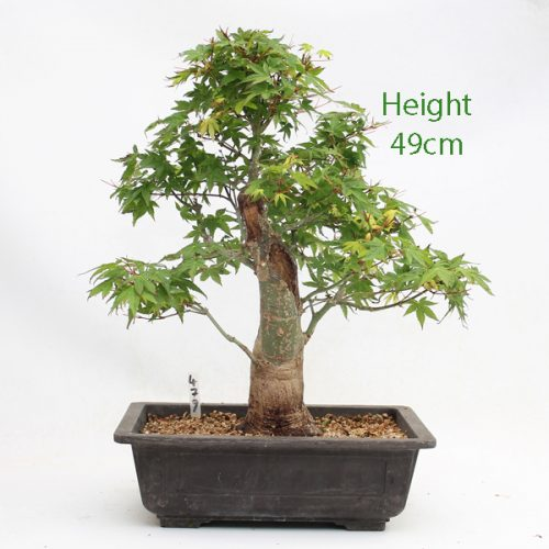 Acer Palmatum Yamamomiji Japanese Maple Bonsai Tree Number 479 available to buy online from All Things Bonsai Sheffield Yorkshire with free UK delivery