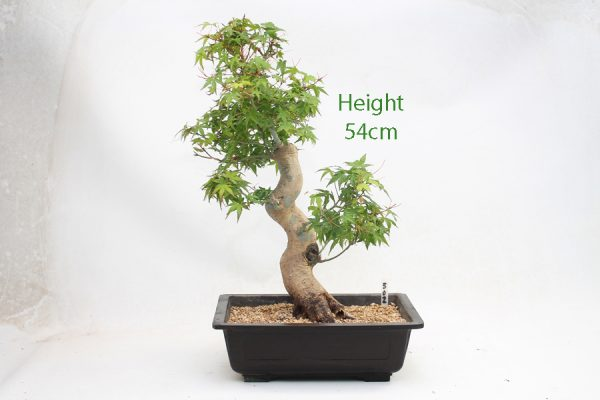 Acer Palmatum Yamamomiji Japanese Maple Bonsai Tree Number 502 available to buy online from All Things Bonsai Sheffield Yorkshire with free UK delivery