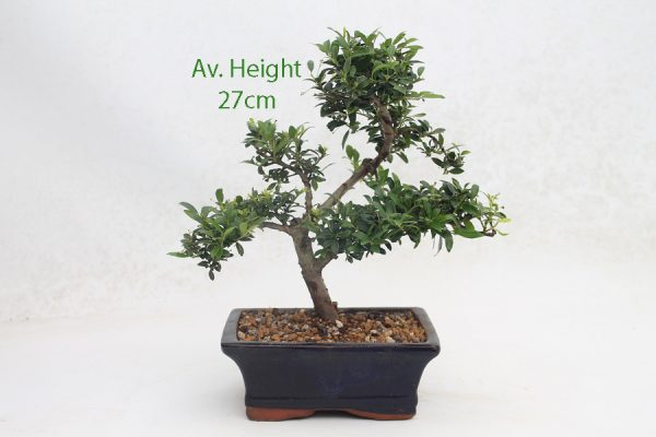 Japanese Holly Flowering Bonsai Tree 15cm Pot available to buy online from All Things Bonsai Sheffield Yorkshire with free UK delivery