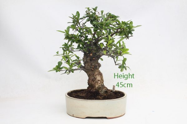 Pyracantha Flowering Bonsai Tree 37 available to buy online from All Things Bonsai Sheffield Yorkshire with free UK delivery